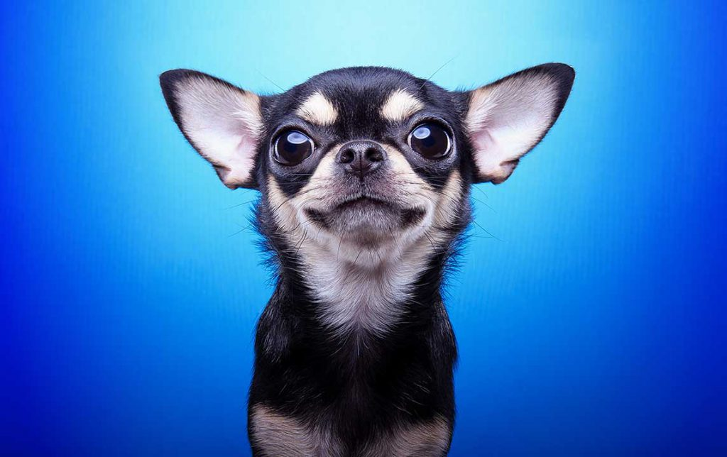 Small dog on blue Background